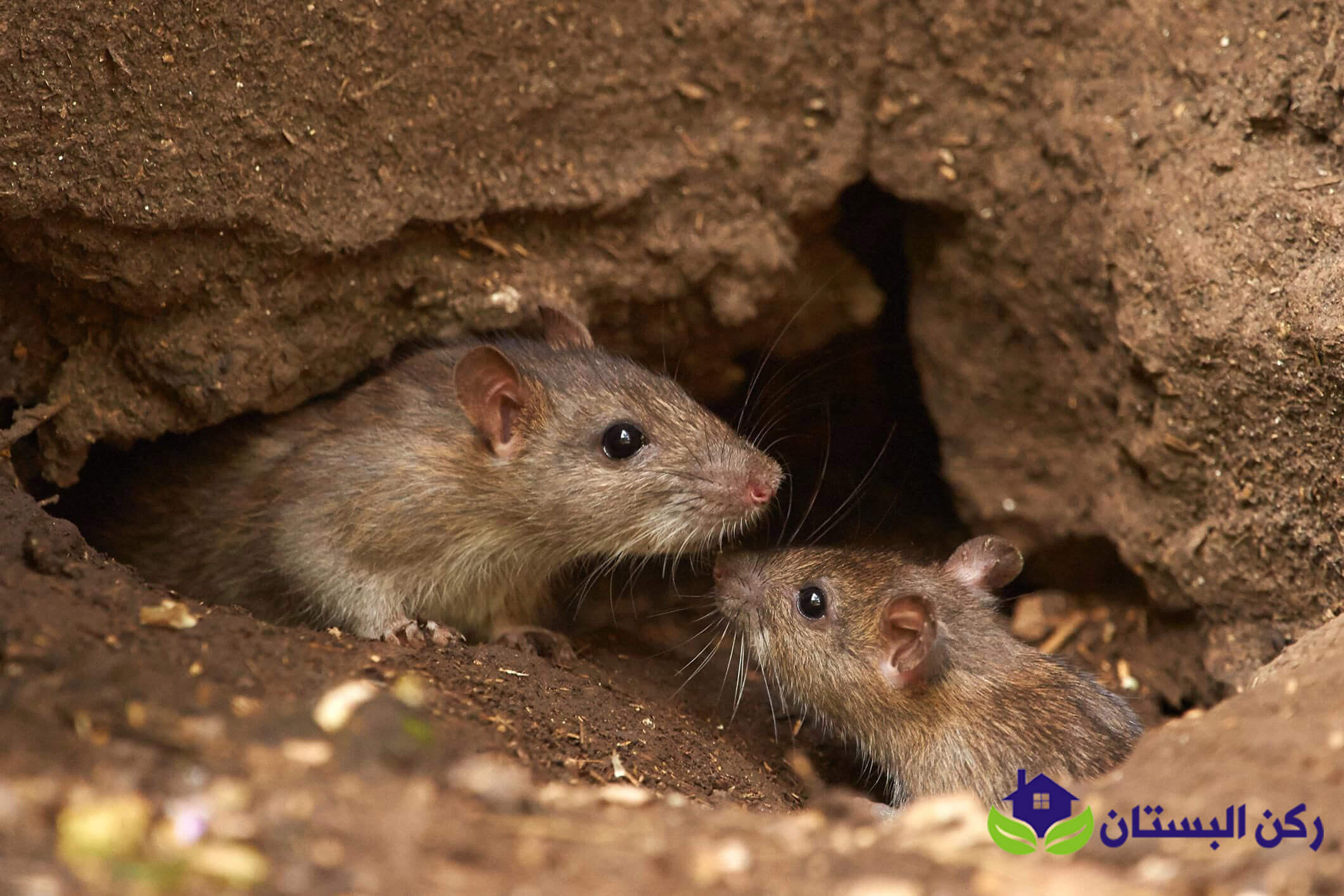 شركة مكافحة الفئران بالمدينه المنوره