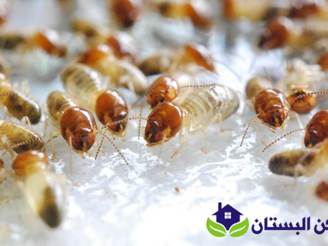 شركة مكافحة النمل الابيض بينبع